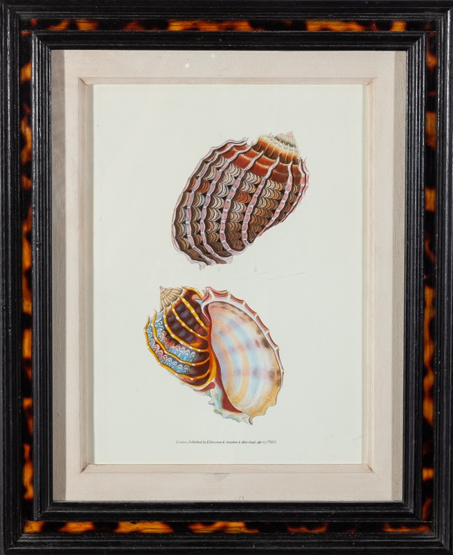 A pair of lithographs depicting shells with faux-tortoiseshell frames