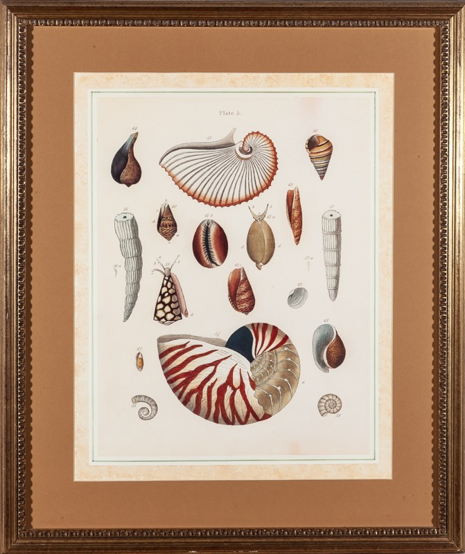 A pair of lithographs depicting shells with gilded frames
